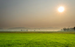 Landscape of Rice Field and Sunrise Dawn Stock Image