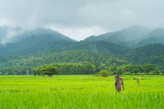 Landscape of rice field in thailand Royalty Free Stock Photos