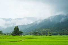 Landscape of rice field in thailand. Landscape of rice farm in thailand in raining day Stock Photos