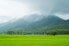 Landscape of rice field in thailand. Landscape of rice farm in thailand in raining day Royalty Free Stock Photos