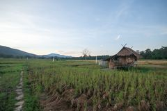 Landscape of rice fields in the evening of Thailand. Landscape of rice fields And cottages in the evening of Thailand stock photos