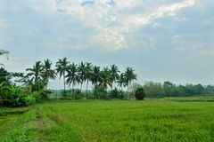 Landscape of rice fields Stock Images