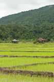 Landscape of Rice paddy Royalty Free Stock Images