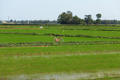 Landscape of a rice paddy field with a bicycle Stock Images