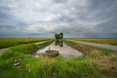 Landscape of rice paddy field. With a view of a stream or river. Agriculture or landscape concept stock photo