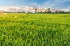 Landscape of rice and rice seed in the farm with beautiful blue royalty free stock photography