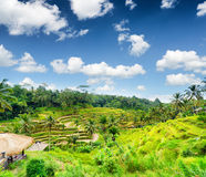Rice terrace of Bali Island, Indonesia Royalty Free Stock Photo