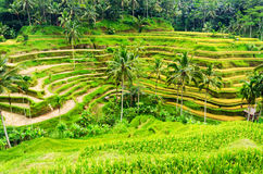 Rice terrace of Bali Island, Indonesia Stock Photos