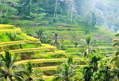 Rice terrace of Bali Island, Indonesia Royalty Free Stock Photos
