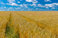 Landscape with ripe wheat field in central Ukraine. June landscape with ripe wheat field in central Ukraine Stock Photo