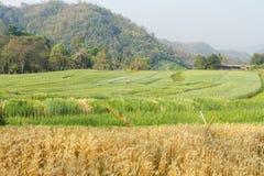 Landscape with ripe wheat Field. Summer landscape with ripe wheat Field Royalty Free Stock Photos