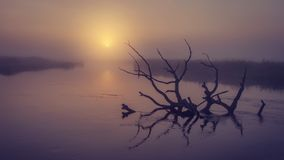 Landscape of river on morning misty sunrise. Old dry tree in water in early foggy dawn. Scenic river