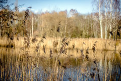 Landscape with river reeds. Cane on the river in early spring lit by the setting sun Royalty Free Stock Image