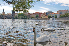 Landscape of river Vltava, Charles Bridge and swans in Prague Royalty Free Stock Photography