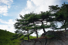Landscape with rocks and groves of relict pine tree. Stock Image