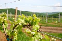 Landscape of romanian vineyard Stock Photography