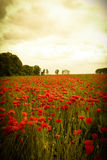 Landscape of romantic poppy field with red wildflowers Royalty Free Stock Photo