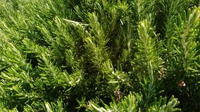Landscape. Rosemary plant in beautiful Spain royalty free stock images