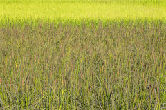Landscape of row of black sticky rice and green paddy rice field in the morning in Thailand. Selective focus with shallow depth of field Royalty Free Stock Images