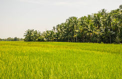 Landscape of row of black sticky rice and green paddy rice field. Landscape of row of black sticky rice and green paddy rice field in the morning in Thailand Royalty Free Stock Photo