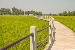 Landscape of row of black sticky rice and green paddy rice field. Landscape of row of black sticky rice and green paddy rice field in Thailand Royalty Free Stock Images