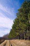 Landscape with a row of firs Royalty Free Stock Photos