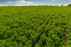 Landscape with rows on clover field and clouds. Royalty Free Stock Image