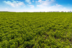 Landscape with rows on clover field and clouds. Stock Images