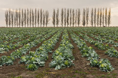 Landscape with rows of mature cabbage guarding by row of Lombardy poplars Stock Photography