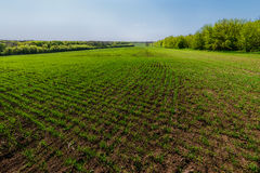 Landscape with rows on young wheat field Stock Photography