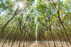 Landscape of rubber trees Stock Images