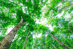 Landscape of rubber trees Stock Image