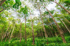 Landscape of rubber trees Royalty Free Stock Photography