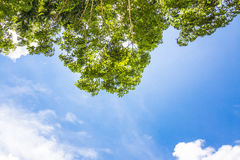 Landscape of rubber trees Royalty Free Stock Photos