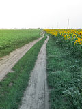 Landscape with rural road and field of sunflowers Royalty Free Stock Photo