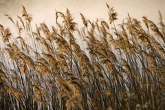Landscape - Rushes Stock Photography