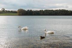 Landscape of Rutland Water Park, England. Swan in Rutland Water Park in England stock photo