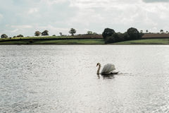 Landscape of Rutland Water Park, England. Swan in Rutland Water Park in England royalty free stock photography