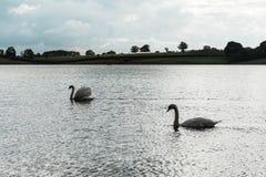 Landscape of Rutland Water Park, England. Swan in Rutland Water Park in England stock photography