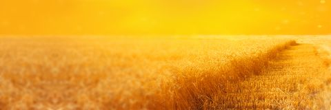 Landscape of rye field with beveled  strips during harvesting at sunset. Summer agriculture rural background. Panoramic image.  Royalty Free Stock Images