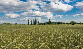 Landscape with rye field. View of the landscape with a rye field in the foreground. In the distance a hill under white clouds on a blue sky royalty free stock photography