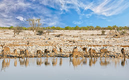 Scenic View of Okaukeujo Waterhole in Etosha National Park, with a large her of Greater Kudu Drinking Royalty Free Stock Photography