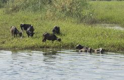 Rural field by river with water buffalo livestock in africa stock photography