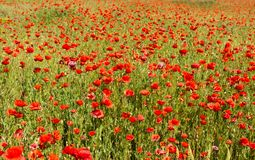 Field with blooming poppies. Landscape scenery  field with blooming poppies Stock Photos