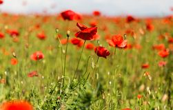 Field with blooming poppies. Landscape scenery field with blooming poppies Stock Image