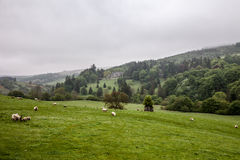 Landscape of Scotland highland. With sheep on the fields Stock Image