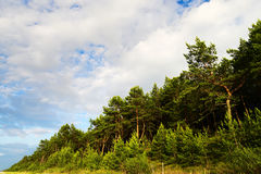Landscape with Scots or Scotch pine Pinus sylvestris tree forest growing on dunes at Baltic sea shore. Stock Image