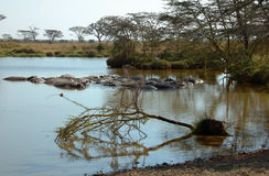 Landscape of the Serengeti with hippos. Hippos in the Serengeti National Park, Tanzania Royalty Free Stock Photography
