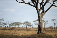 Landscape of Serengeti plain, Tanzania Stock Photography