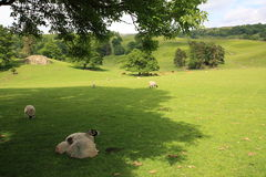 Landscape with sheep Royalty Free Stock Photography